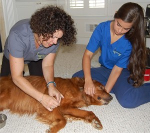 Mitzi Schepps and her assistant, Aleah, administer acupuncture to Tucker. Such geriatric pets can benefit from acupuncture with improved energy and reduced pain.