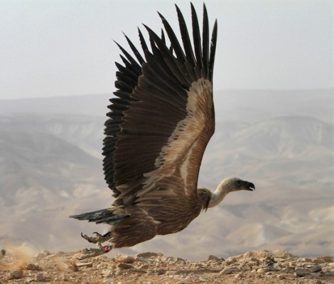 A vulture is released in Israel's Judean Desert (photo credit: Tsafrir Abayov / Flash 90)