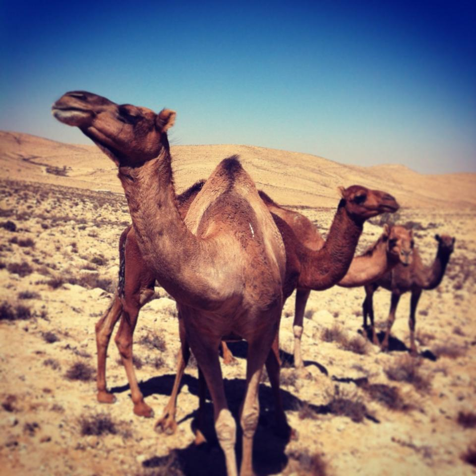 For camels... Photo by Zevie Tannenbaum