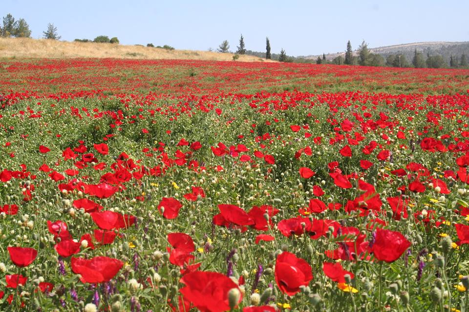 Poppies blooming in the Ella Valley. Photo by Amanda Borschel-Dan