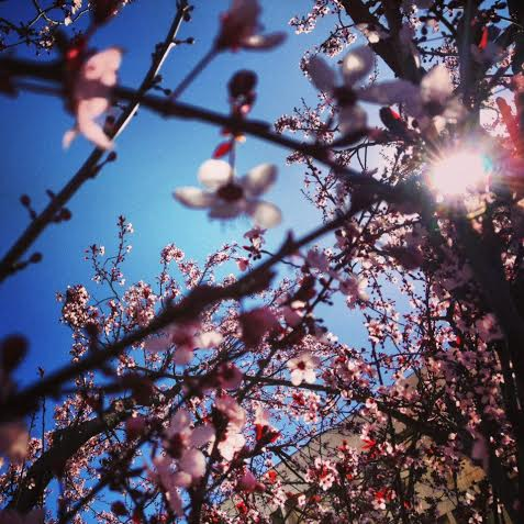 Sun shines through the plum blossoms. Photo by Mirjam van de Giessen.