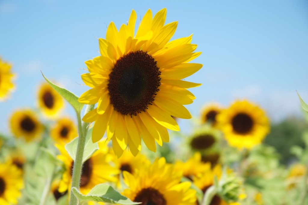 Sunflowers!!! Photo by Brian of London