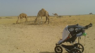 Budgie and Camels Near Beersheva