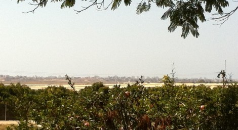 That's Gaza City beyond the pomegranate tree from Kibbutz Alumim (photo credit: Gavin Gross)