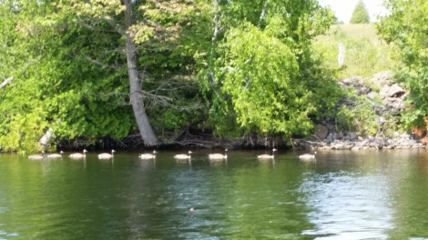Canadian Geese Actually in Canada