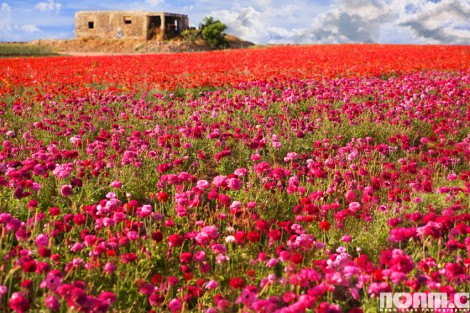 flowers field in southern Israel