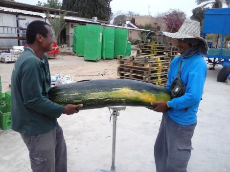 Workers at Ein Yahav weigh a gigantic pumpkin (photo credit: Rami Sadeh via Agriculture Ministry)