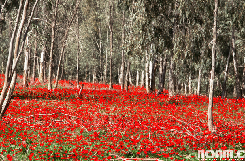 anemones-in-southern-israel