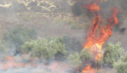 Olive trees in Burin burned by settlers, 10/14/2015, photo ISM, image via Gabriel Helou @GabrielHelou