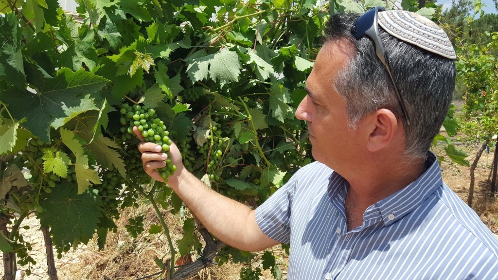 Dr. Shivi Drori examines a cluster of an indigenous grape varietal at his research winery in Ariel University. (courtesy)