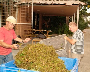 Tivka residents sorting grapes at Tulip (Courtesy Tulip Winery)