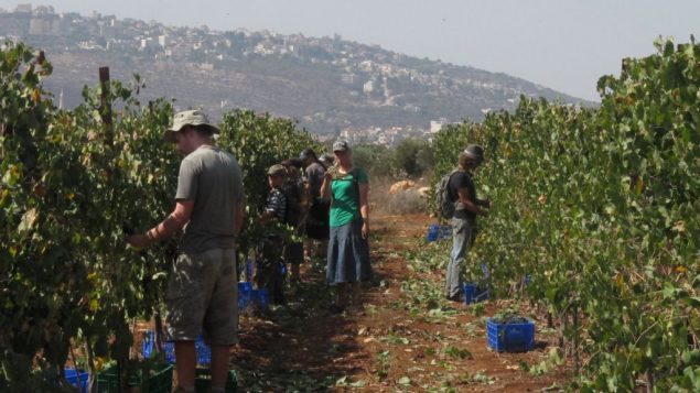 Christian Evangelical volunteers help with Israel's grape harvest, but raise concerns for rabbis.