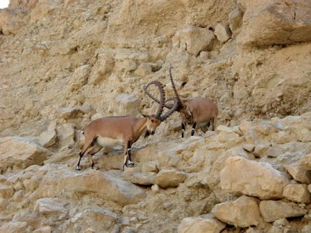 Ibex locking horns at Nahal David (photo: courtesy)