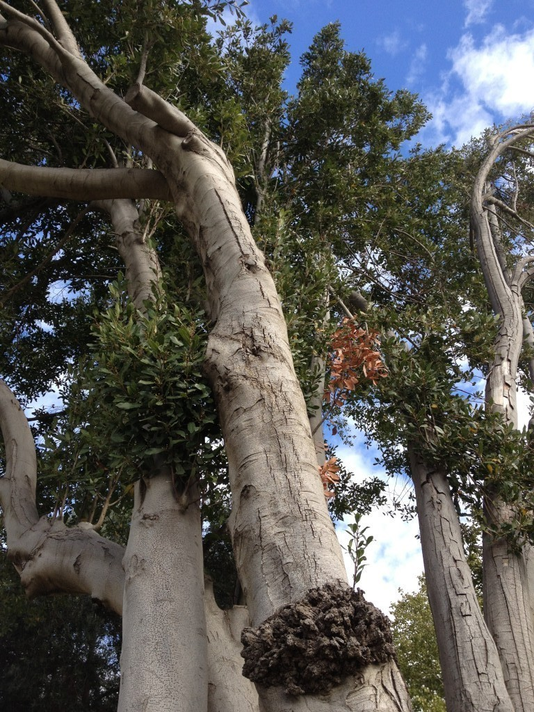 The multiple trunks of the bay laurel (photo credit: Jessica Steinberg/Times of Israel)