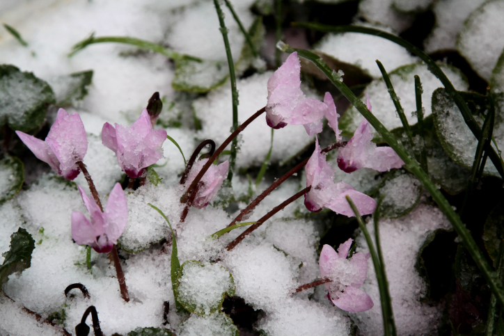 Cyclamen flowers covered in snow in Gush Etzion, outside Jerusalem (photo credit: Gershon Elinson/Flash90)