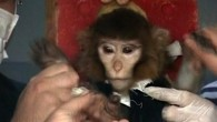 Iranian scientists surround a monkey ahead of a space launch. Iran said it had successfully sent the monkey into space on Monday, Jan. 28, 2013, describing the launch as another step toward Tehran&#039;s goal of a manned space flight. (photo credit: AP/AP Video)