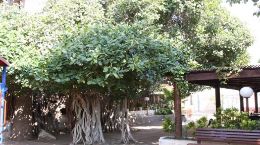 Bengali fig tree, Jaffa (photo credit: Shmuel Bar-Am)