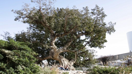 Sycamore fig tree, Tel Aviv (photo credit: Shmuel Bar-Am)