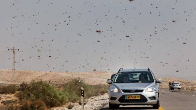 Israelis drive through a swarm of locusts near the Egyptian border. Getty Images