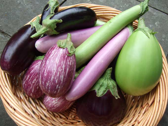 The eggplant harvest at Chubeza organic farm in Israel (Courtesy Chubeza)