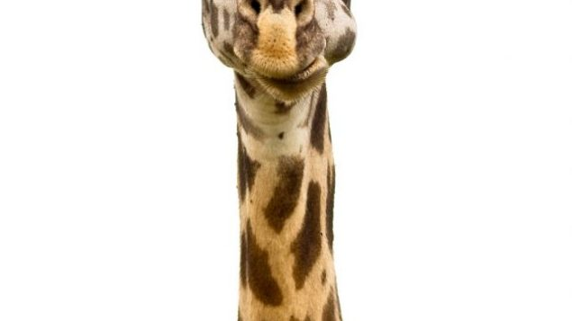 Some are comfortable sticking their necks out; others have no choice. Fotolia