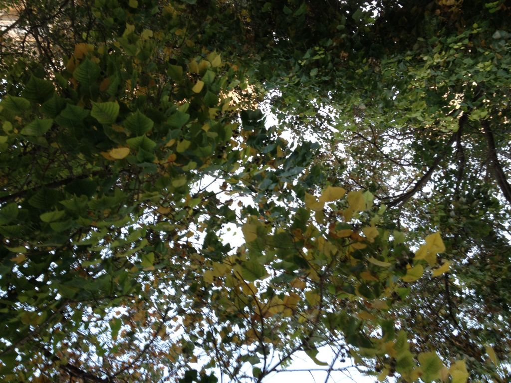 Glancing up at leaves turning yellow in Jerusalem (photo credit: Jessica Steinberg/Times of Israel)