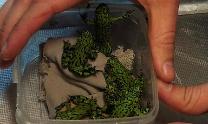 Rare frogs seized by Ben Gurion Airport customs agents (Photo credit: Courtesy)