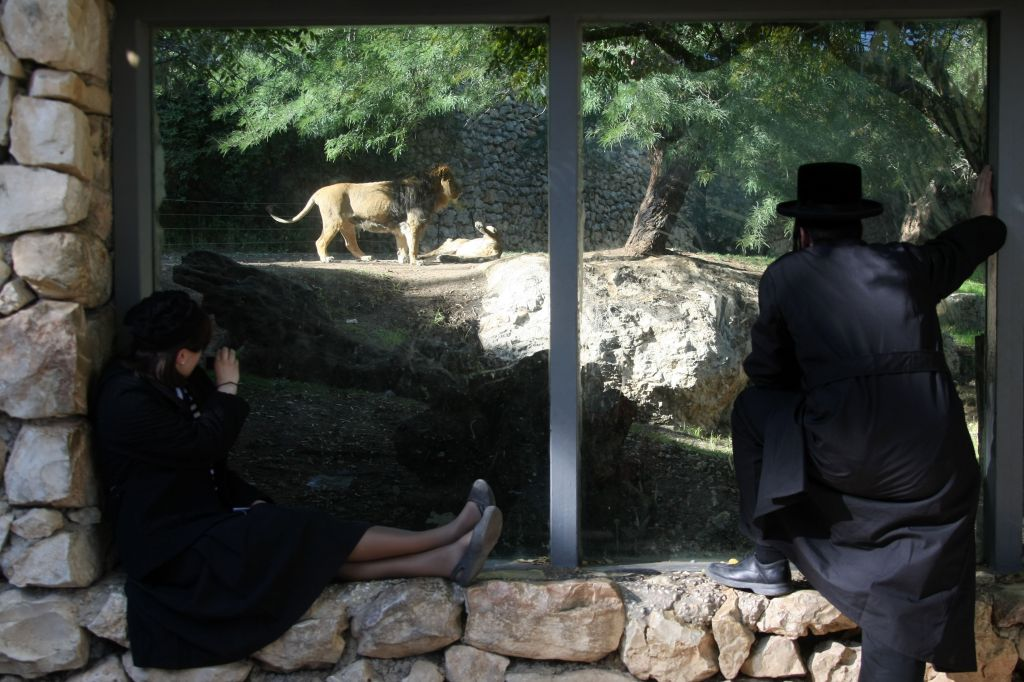Lider and Ileniya, the previous lion and his lioness, in their enclosure at the Jerusalem Biblical Zoo (photo credit: Anna Kaplan/Flash 90)