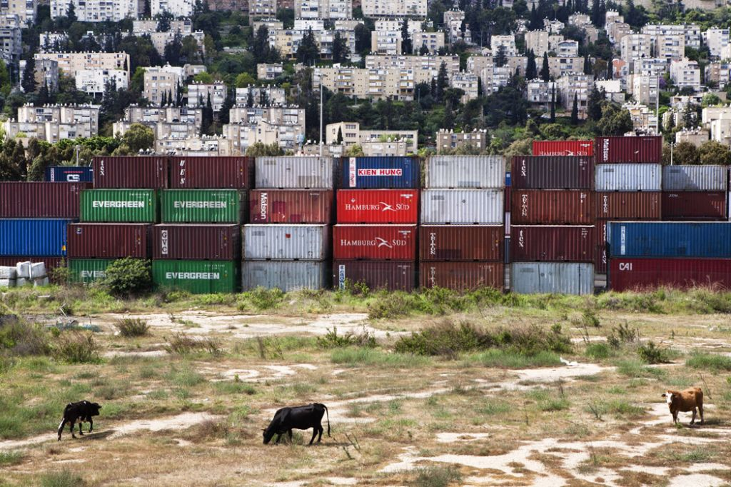 Cows, shipping containers and a shikun neighborhood in Haifa (photo credit: Axel Saxe)