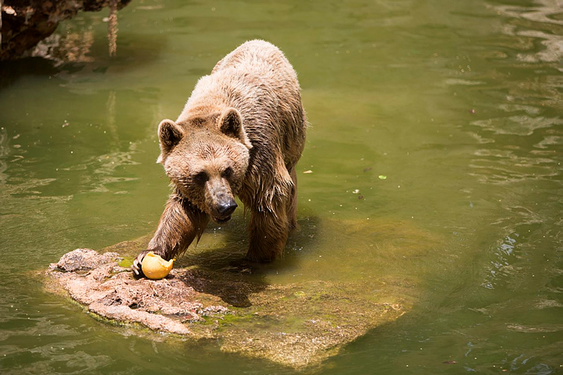 A brown Syrian bear enjoys a frozen Melon and a swim at the Jerusalem's Biblical Zoo on a hot summer day, on May 27, 2015. (Yonatan Sindel/Flash90)