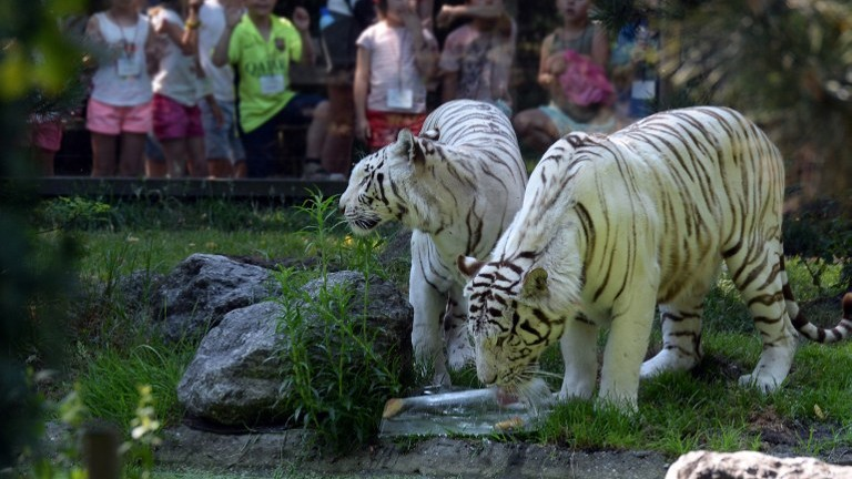 White tigers drink from a water pond at the Bordeaux-Pessac zoo, southwestern France, on June 30, 2015, as a heatwave grips western Europe, with temperatures exceeding 40 degrees Celsius (104 degrees Fahrenheit) already in Spain and the heat moving north to France. (Jean Pierre Muller/AFP)