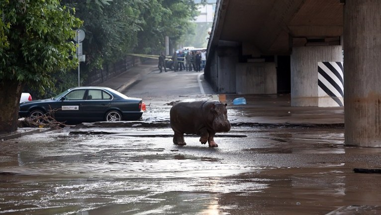 A hippopotamus walks across a flooded street in Tbilisi on June 14, 2015. (Beso Gulashvili/AFP)