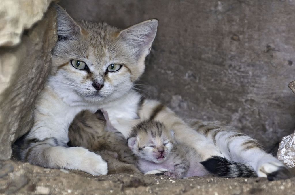 Watch newborn sand kittens delight at israeli zoo the The three cats
