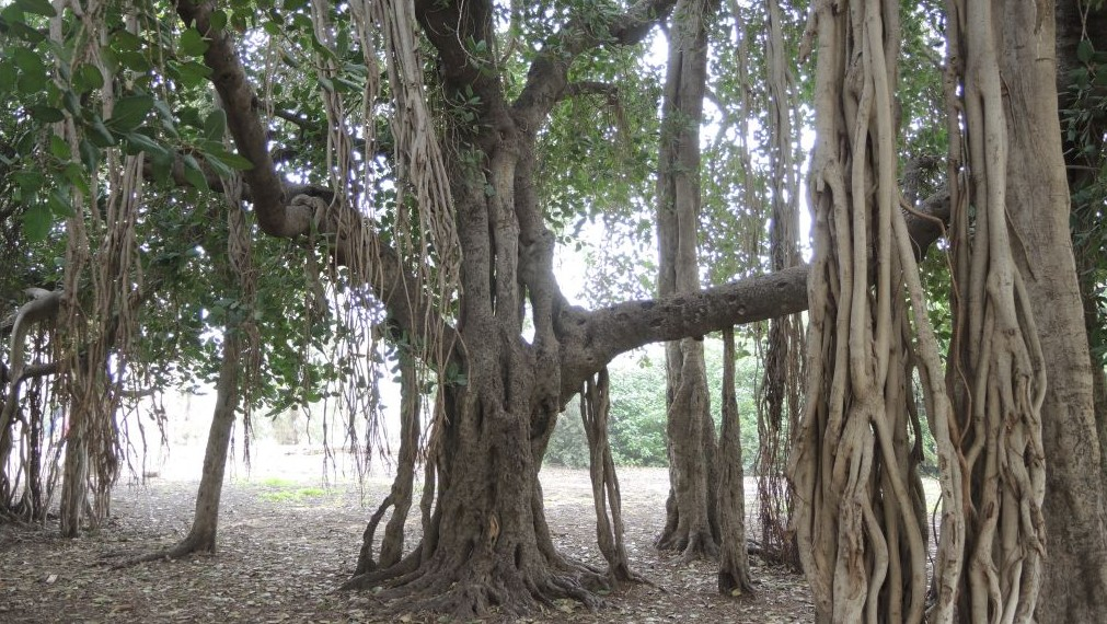 This Bengali ficus was planted in 1888 in Holon and is now the size of a small building. (Melanie Lidman/Times of Israel)