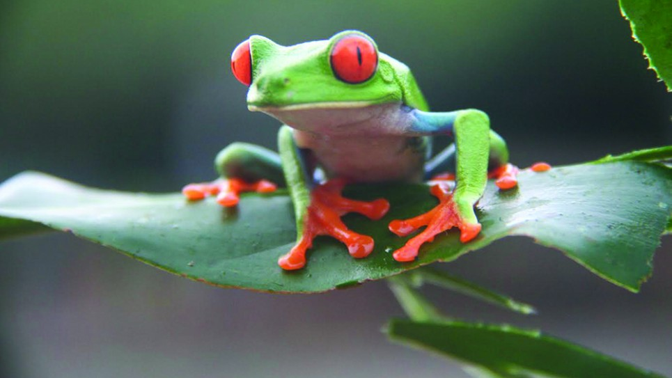 Red eyed frog CREDIT NICK REDMAYNE