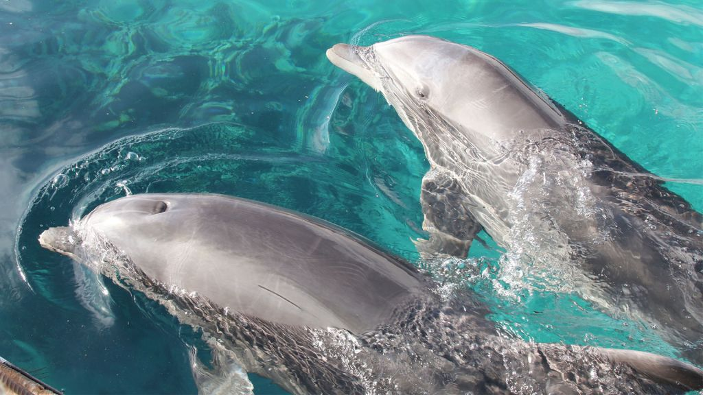 Two dolphins at the Dolphin Reef in Eilat. (Shmuel Bar-Am)