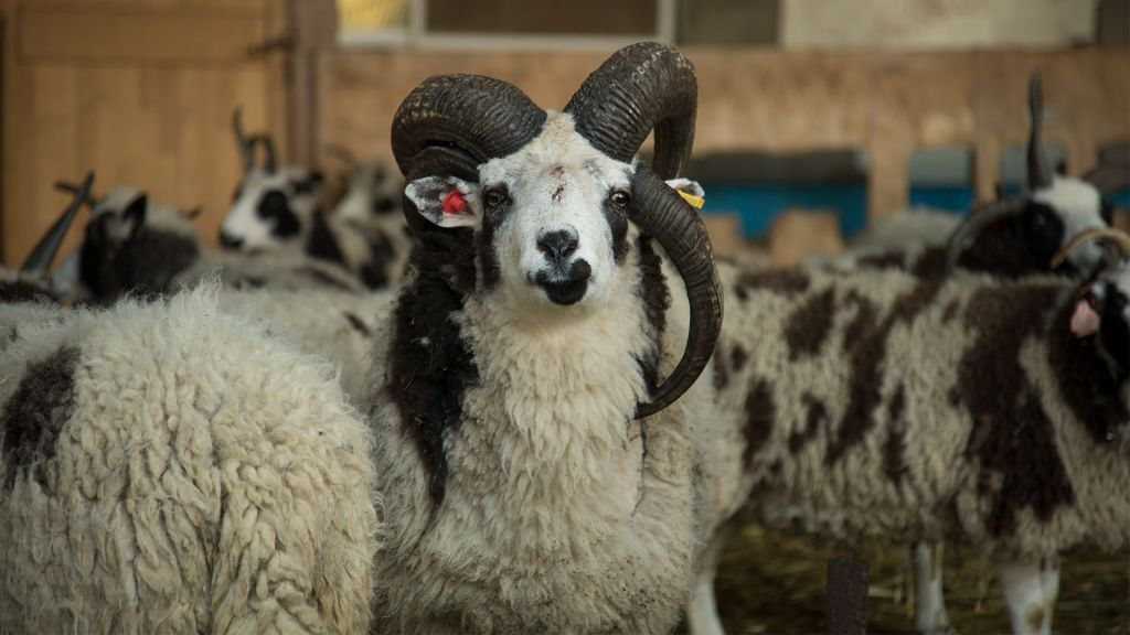 The Jacob's sheep's origins date back to the Middle East 5,000 years ago, but until this December they hadn't been in Israel for millennia. This sheep, pictured on January 15, 2017, is adapting well to the transition. (Luke Tress/Times of Israel)