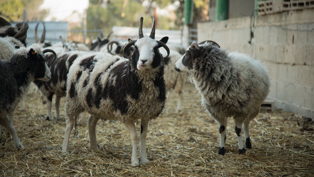 Jacob's sheep can have a maximum of six horns each, though four, like the one pictured here on January 15, 2017, is more common. (Luke Tress/Times of Israel)