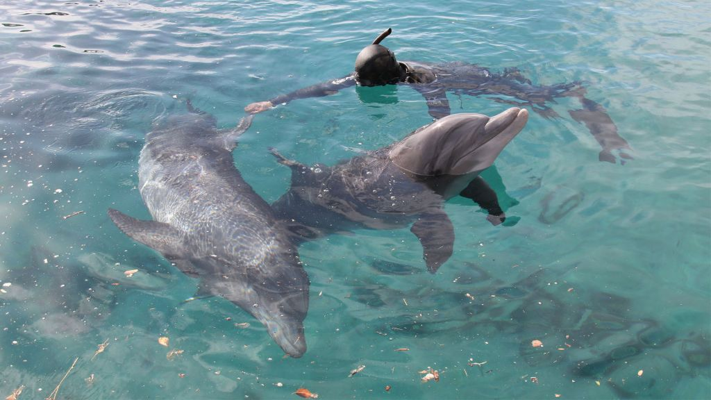 A handler swims with dolphins at the Dolphin Reef in Eilat. (Shmuel Bar-Am)
