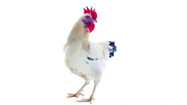 Why did the chicken go on a diet? The London Beth Din has confirmed all poultry for Passover must be fed a wheat-free diet