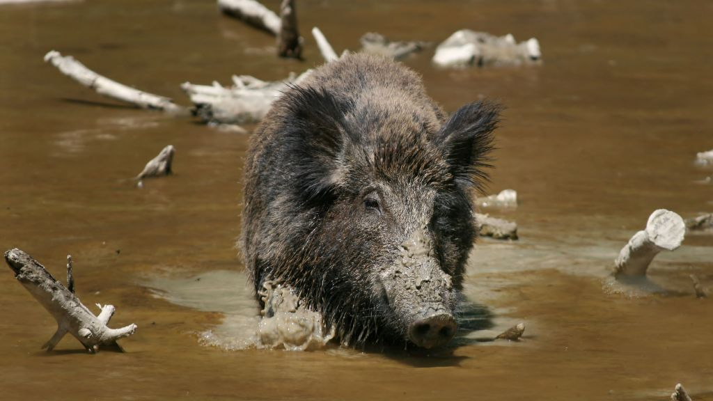 Isis fighters killed by wild boar as they hid waiting in ambush