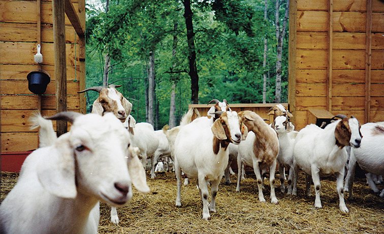 Jeffrey Kane and his wife raised these Boer goats in Vermont; they also raised dogs to shepherd the goats.