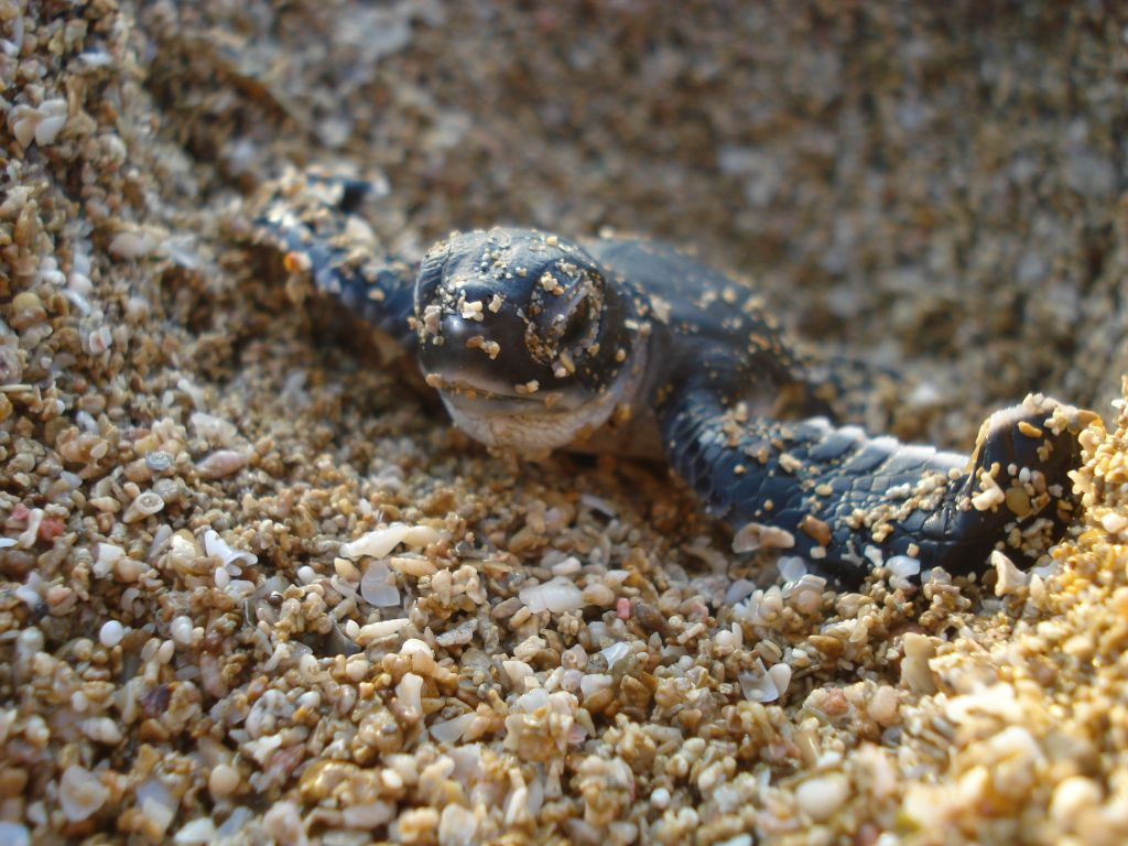 Turtles come ashore to lay their eggs