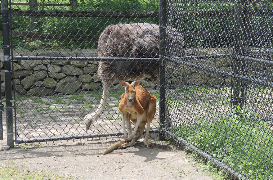 Steinhardt's zoo includes 30 species of animals, including the red kangaroo, front, and ostrich. (Ben Sales/JTA)