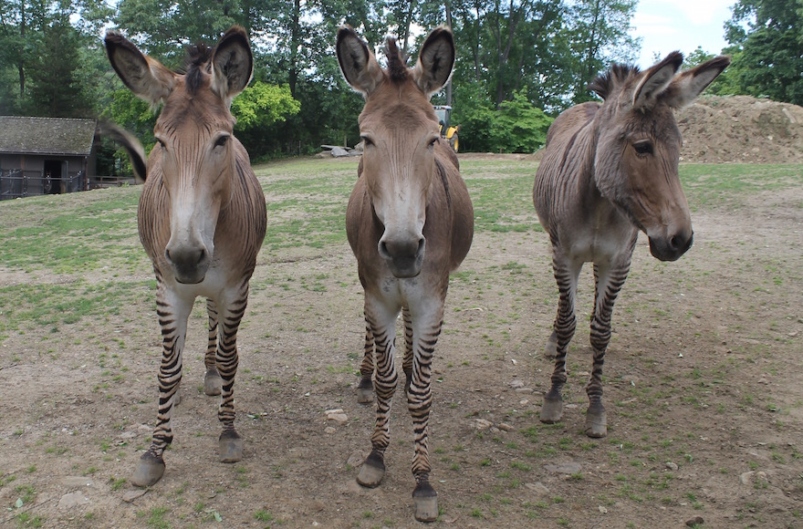One of Michael Steinhardt's more unique possessions is his group of zedonks, the offspring of a zebra and a donkey that he calls 'zonkeys.' (Ben Sales/JTA)