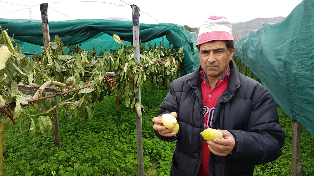 A farmer holds up damaged citrons in northern Calabria, Italy, where etrogs have been harvested for thousands of years. (Luigi Salsini/Chabad.org)