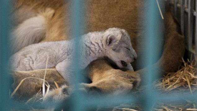 A lion rescued from a zoo in the war-torn Syrian city of Aleppo cuddles her newborn cub in the Ma'wa Wildlife Reserve in northern Jordan, August 12, 2017.(Four Paws/Ahu Savan An, via AP).