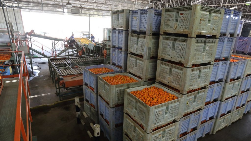 Illustrative: Oranges at a factory in southern Israel (Yaakov Naumi/Flash90)