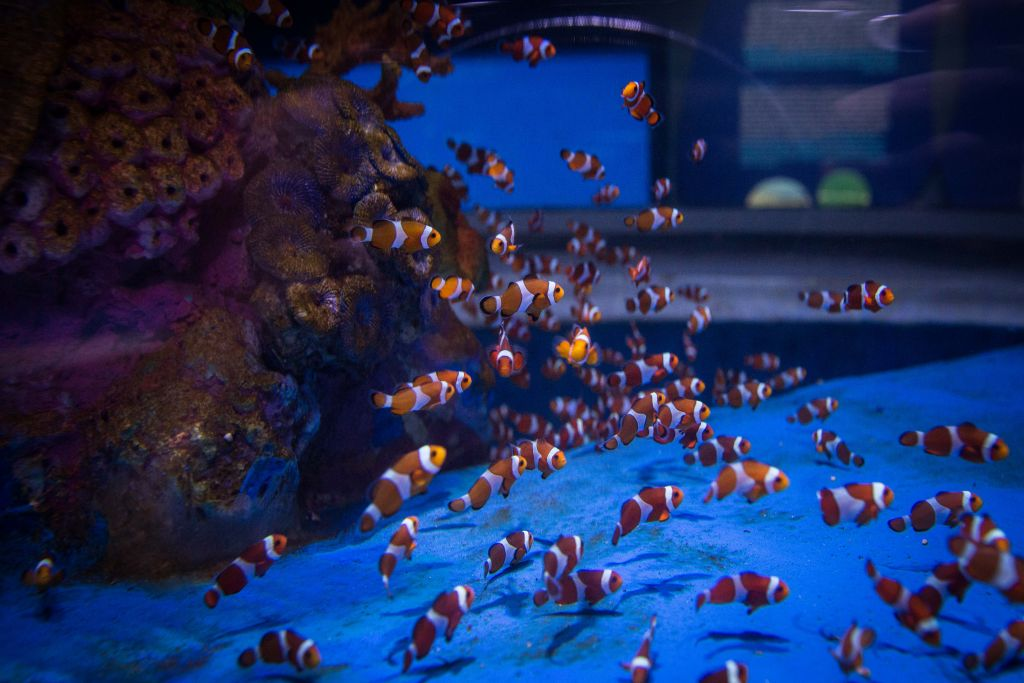 Dozens of clown fish populate one of the tanks in the Jerusalem aquarium (Hadas Parush/Flash 90)