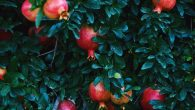 Pomegranates Growing On Tree At Farm, Getty Images